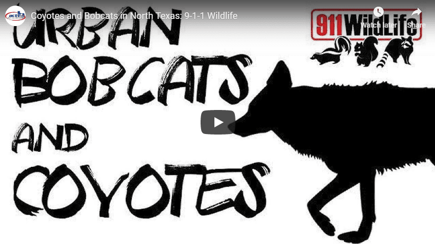 YouTube screenshot of Urban Bobcats and Coyotes video featuring silhouette of coyote and other anima