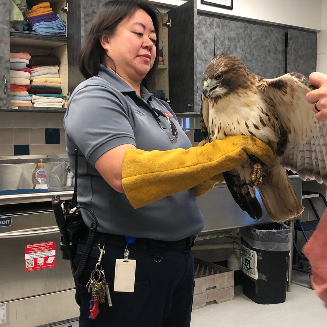Animal Services staff with red tailed hawk